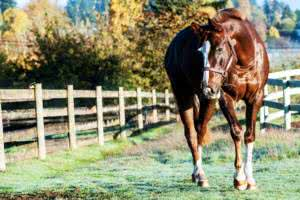 gallery-chestnut-walking