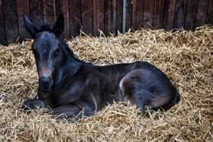 gallery-foal-in-hay